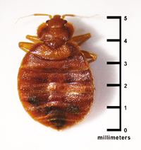 5 mm photo of bed bug